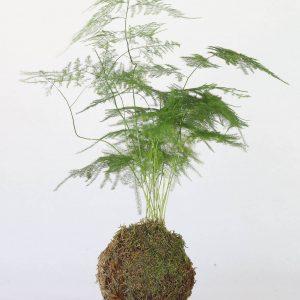 Kokedama avec un  Asparagus