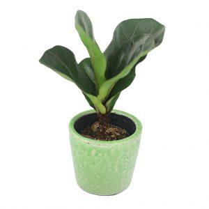 Compo Ficus Liriata & joli  pot serax