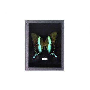 Papillon Papilio  Blumei H18 x H15