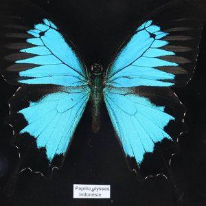 Papillon Papilio  Ulysses H18 x H15
