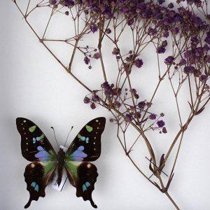 Papillon Graphium Weiskei et Gypsophile violet H23 x H18