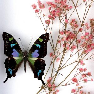 Papillons Graphium Weiskei et Gypsophilie rose H23 x H18