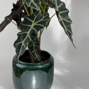 Alocasia «Polly» et et son cache pot SERAX vert Ø20