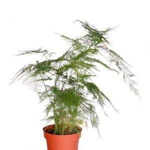 Asparagus Plumosus H40-Ø19