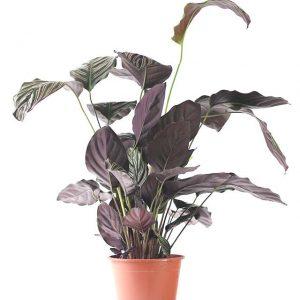 Calathea Sanderiana Ornata H60-Ø19