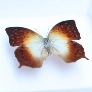 Charaxes Imperialis H15 x H18