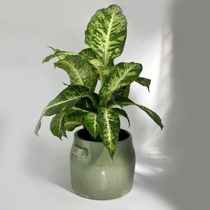 Dieffenbachia «Seguine» et son cache pot Tabor SERAX vert clair Ø20