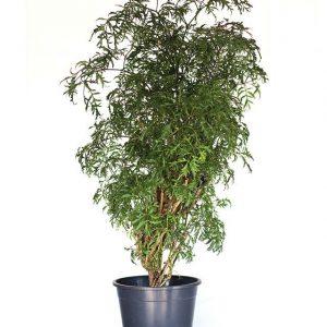 Polyscias scutellaria Roble H80-Ø19