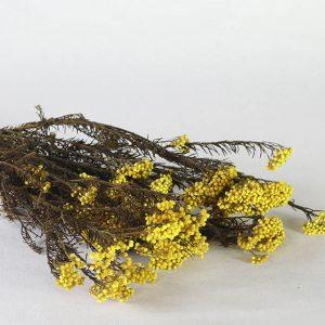 Rice Flower jaune fleurs séchées
